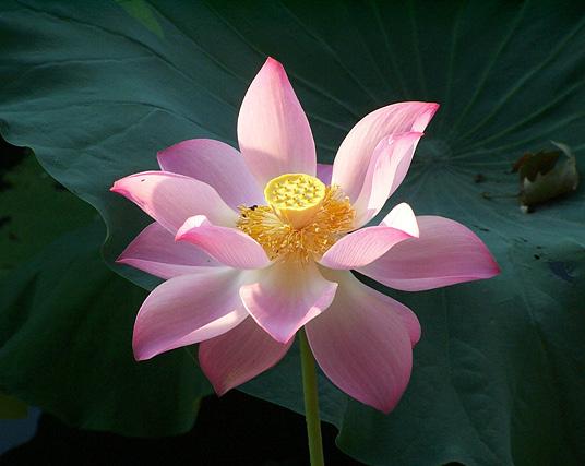 http://annatam.com/wp-content/uploads/2006/07/lotus%207_edited.jpg