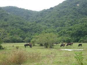 cows and meadow at Lai Chi Chong